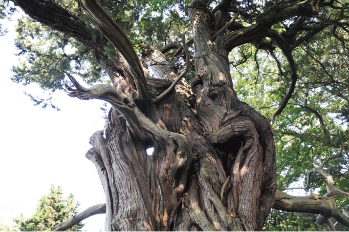 ビャクシン樹林